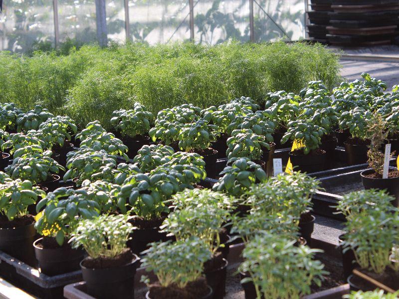 Pflanzen im Anwachshaus