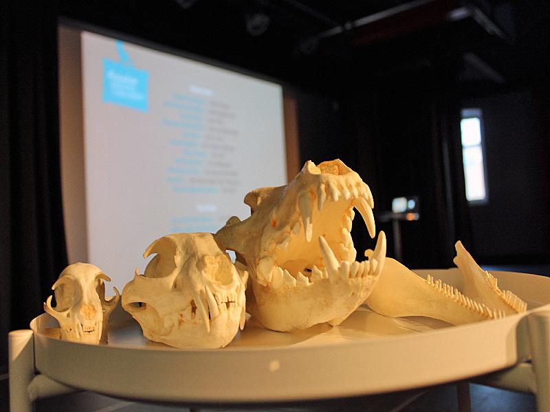 Zum Anfassen: Kopfskelette von Schweinswalen