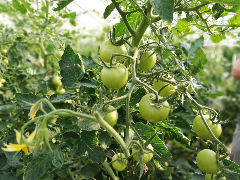 Solidarisches Landwirtschaftsprojekt Biotop in Lenggries - Von Hummeln bestäubte Tomaten.