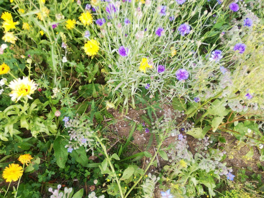 Blühstreifen für Bodengesundheit und Insekten.